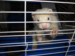 Important Facts About Traveling WithYour Ferret