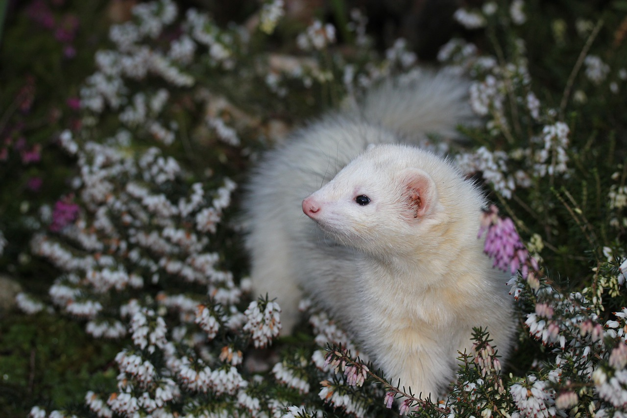 Taking Care of Your Older Ferrets