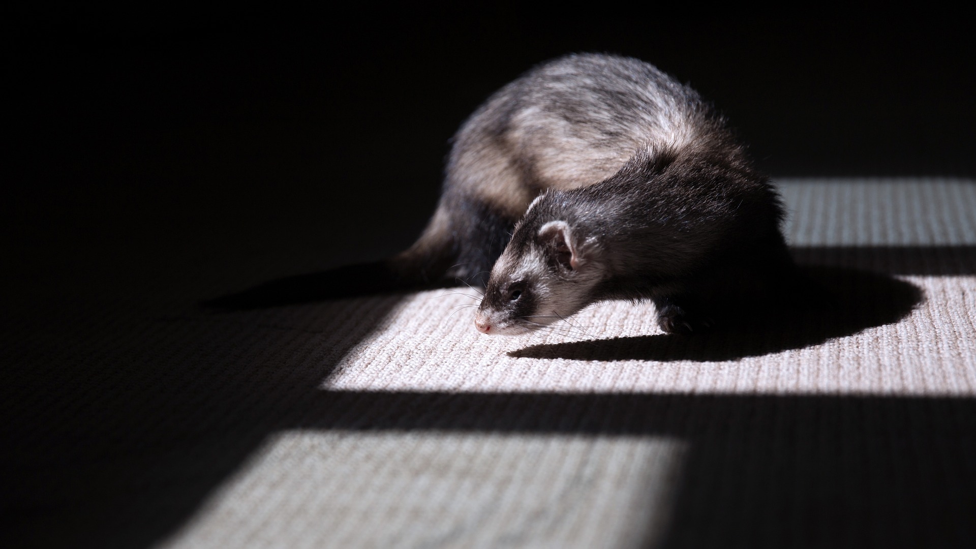 10 Fun Ferret Hacks for Your Cage